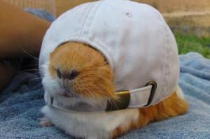 Guinea pig in a hat